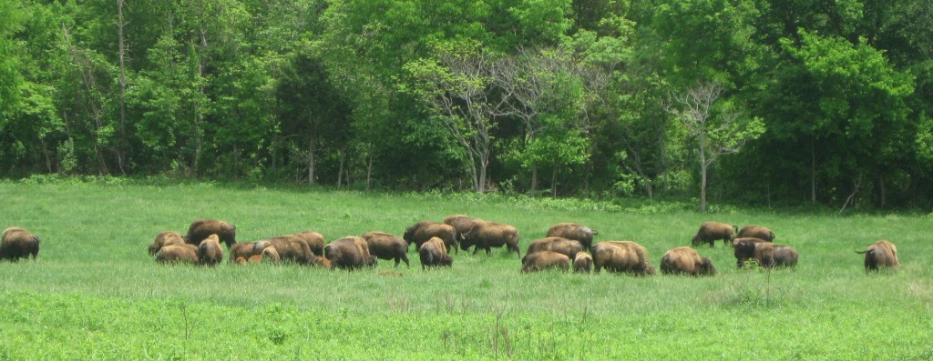 Bison Herd at Land Between the Lakes - Copyright © 2014 Robert D. Vickers, Jr.
