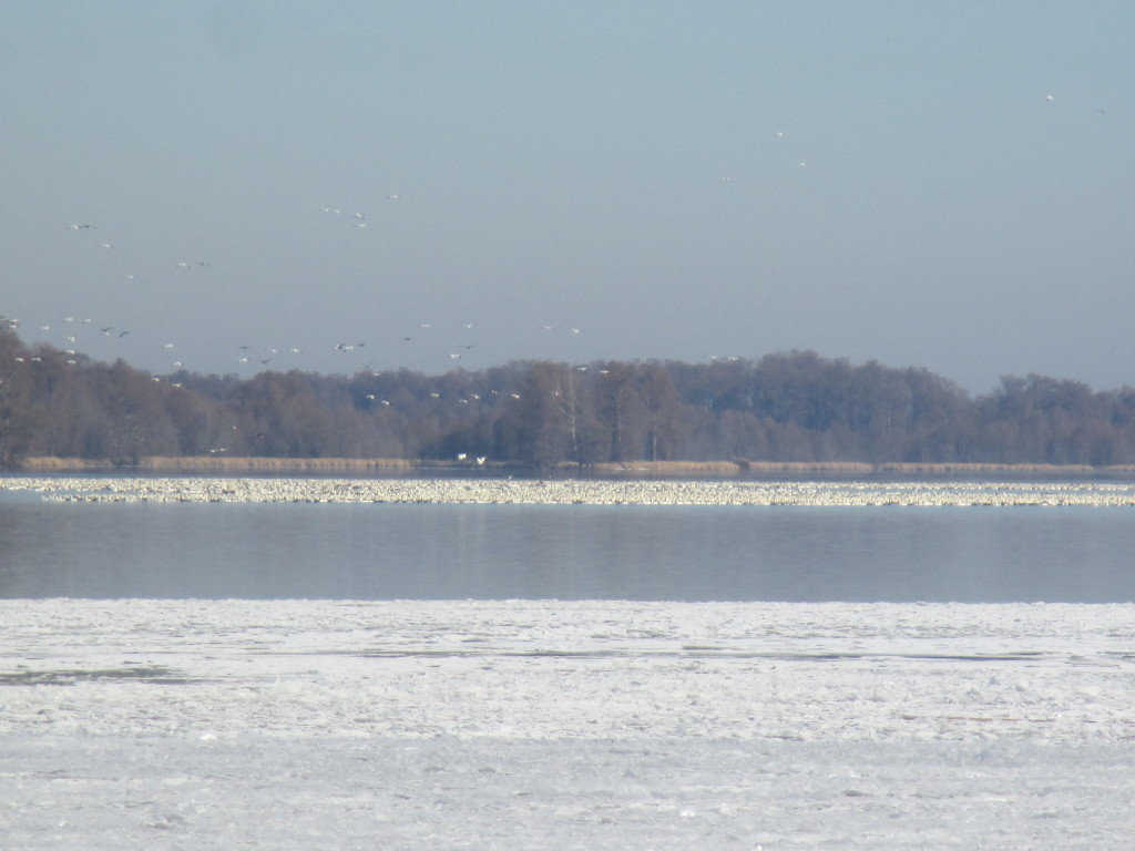 Snow Geese on Reelfoot Lake - Copyright (c)